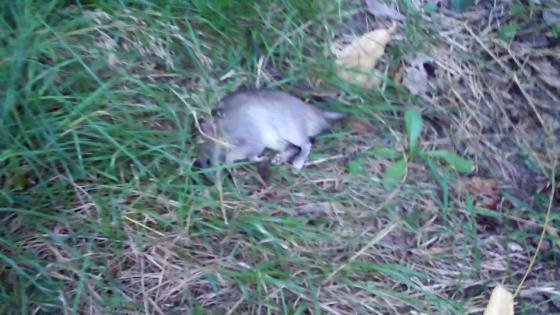 Tomato and Rat Death Scene