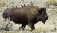 Talking Bison and FlyingTurkey