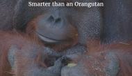Smarter than AnOrangutan